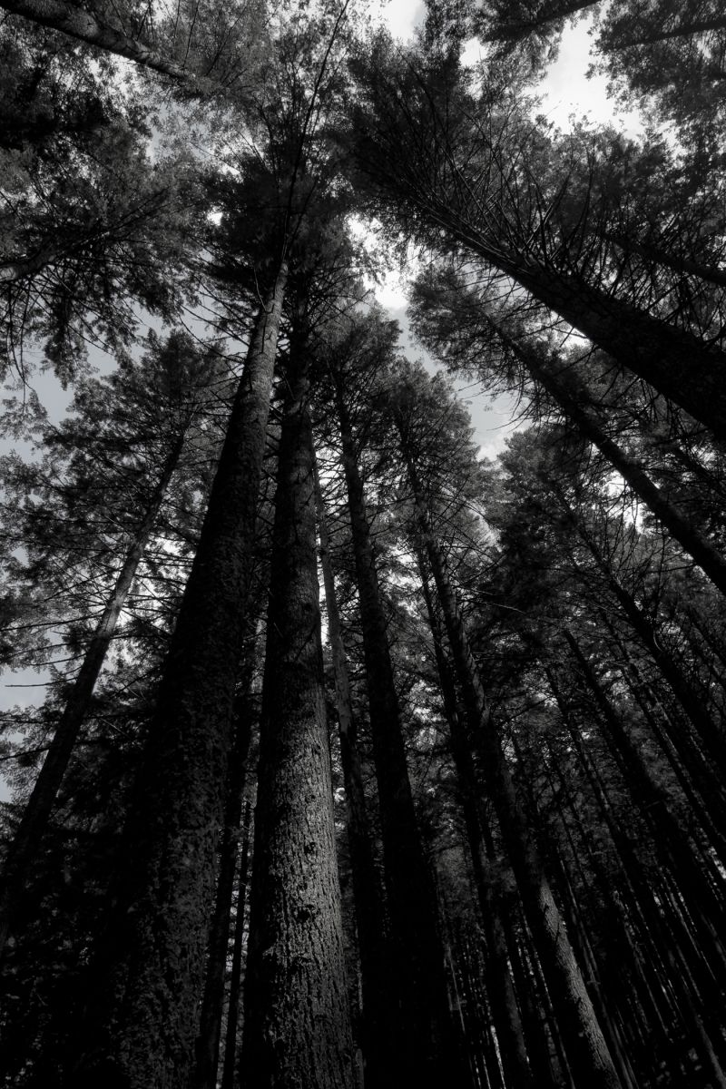 Portland Northwest Tree