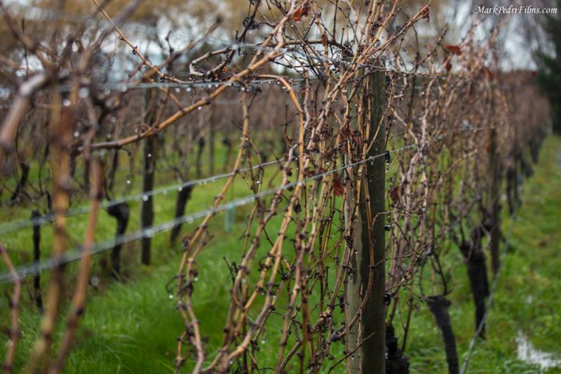 New Zealand, Wine, Grapes