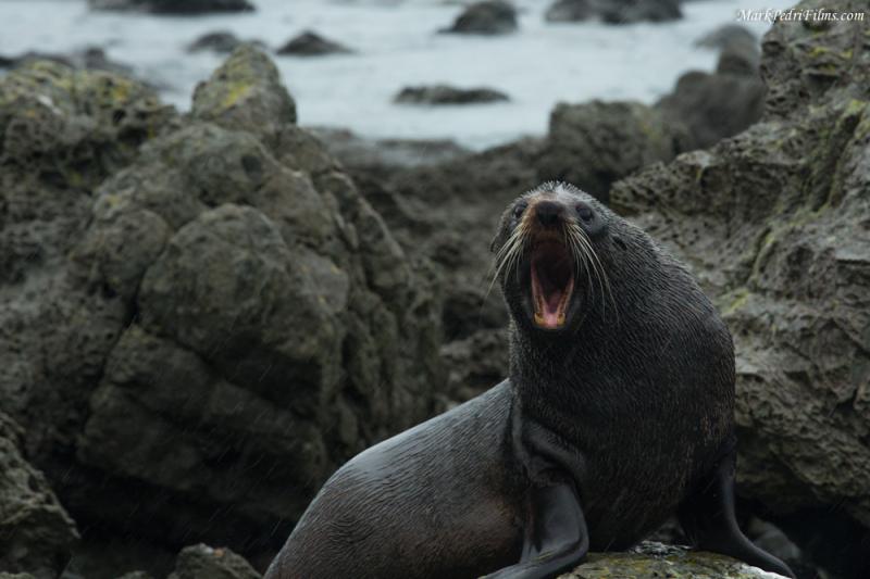 Seal, NZ, Rocks, Roar