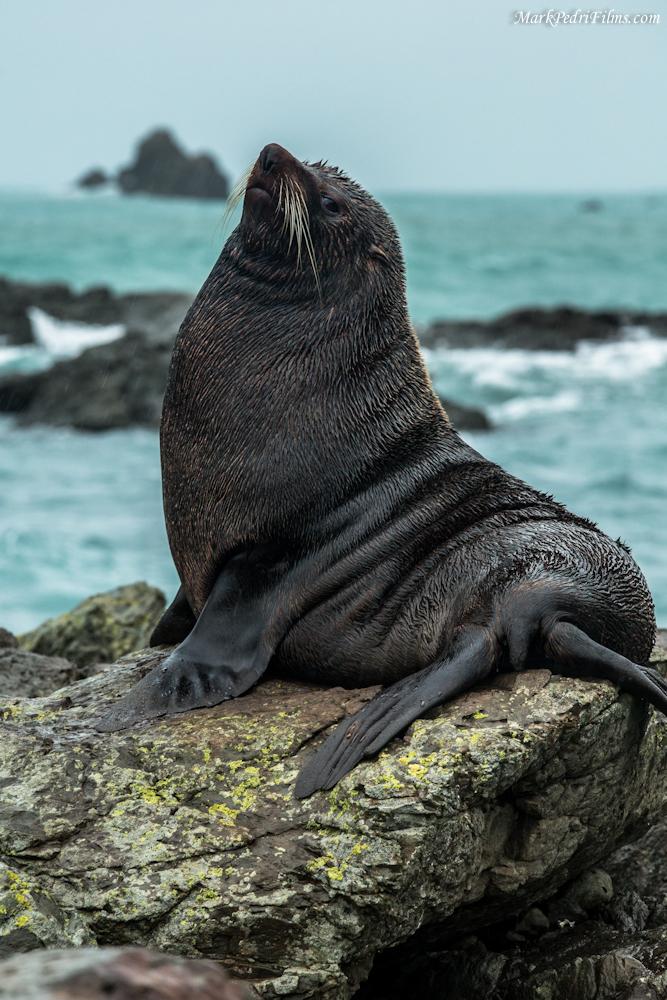 Seal, NZ, Rocks, Snob