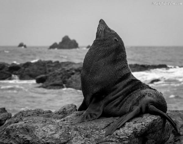 Seal, King, New Zealand, Coast, Rocks