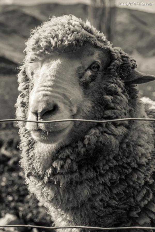Sheep, Merino, New Zealand, Bert