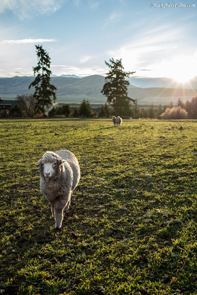 Bert, Sheep, Merino, New Zealand, Hero