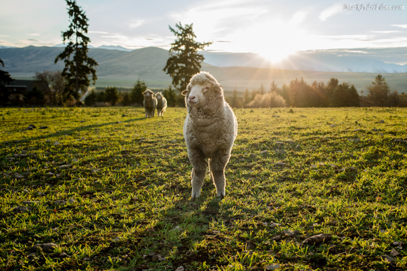 Bert, Sheep, Merino, New Zealand, Hero
