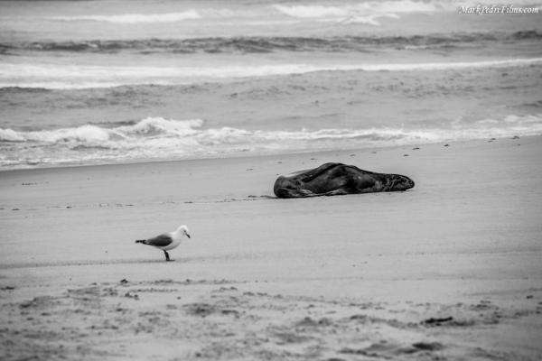 Seal Lion, New zealand, Beach, Sandfly