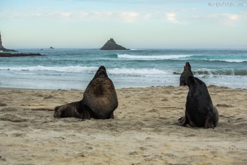 Sea Lion, New zealand, Beach, Sandfly