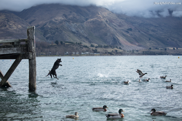 Dog, Duck, Lake, Wanaka, NZ