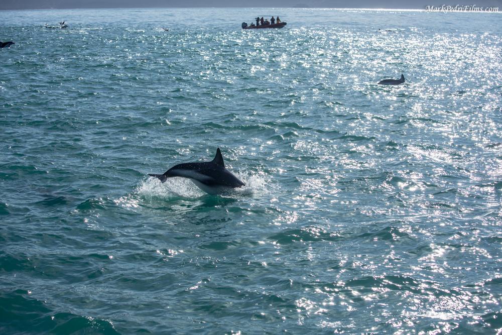 Dolphins, NZ, Ocean