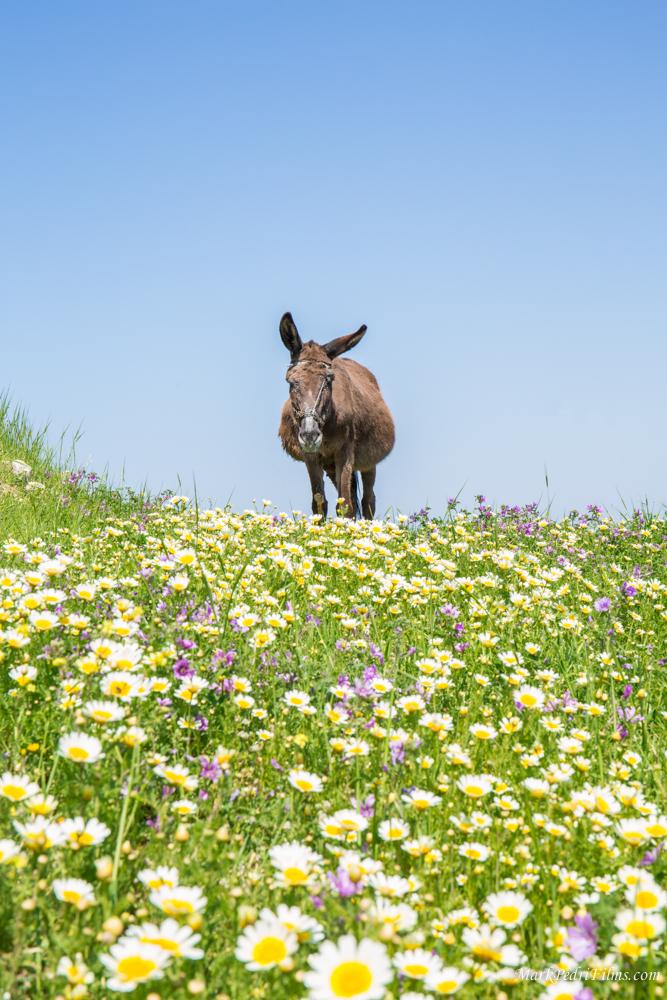 donkey, Turkey