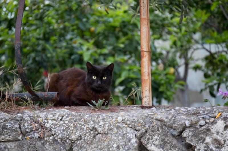 Cat, Turkey