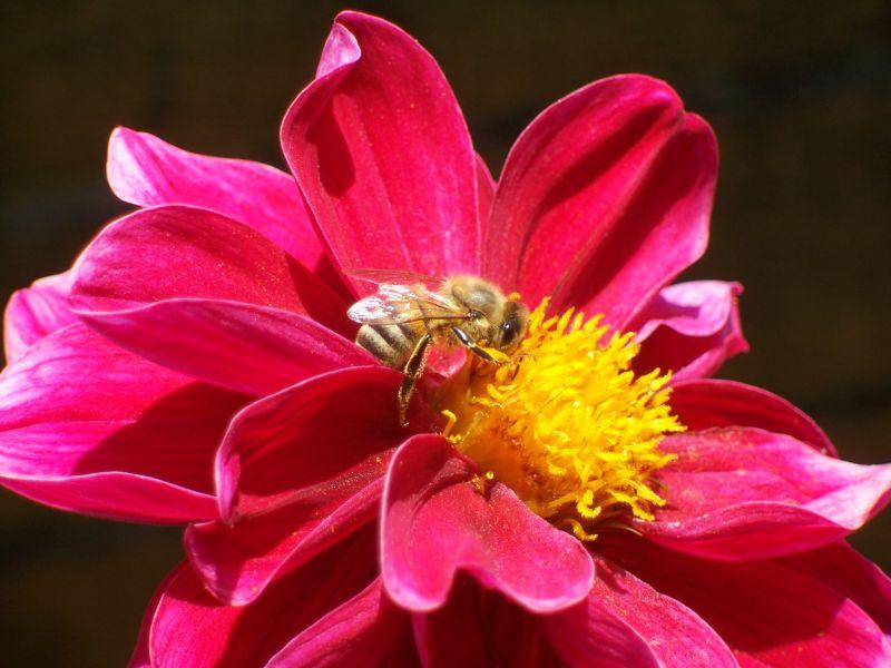 Bee on Chrysanthemum