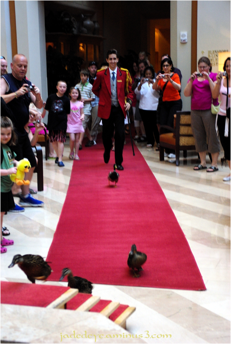 The Peabody Marching Ducks