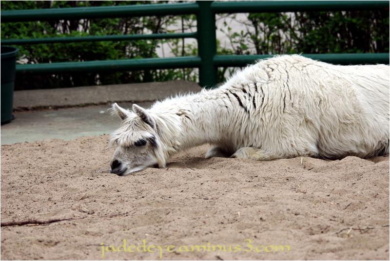 Oscar the Sad Alpaca