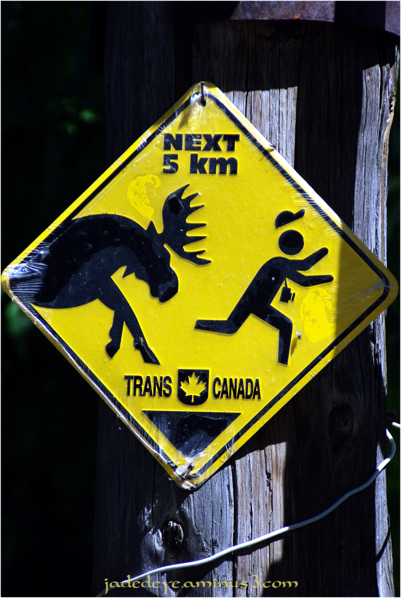Caution All Photographers! Moose On The Loose!!!
