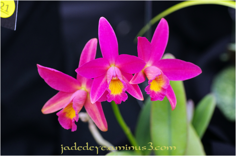 Orchids VI