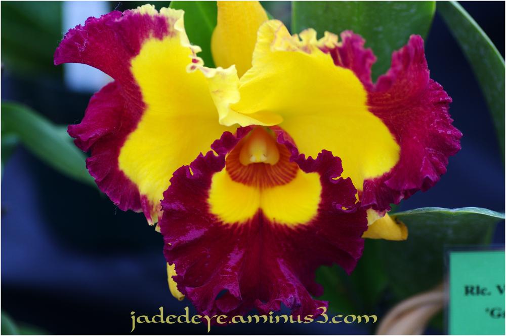 Orchids IX