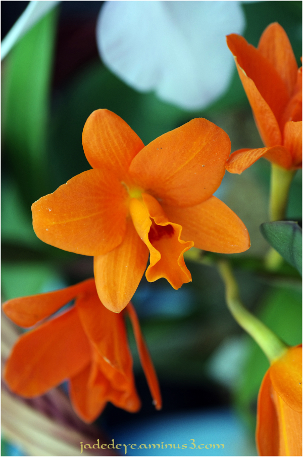 Orchids XI