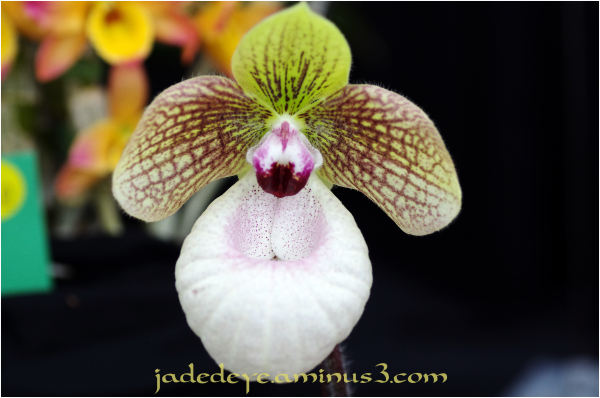 Orchids XVII
