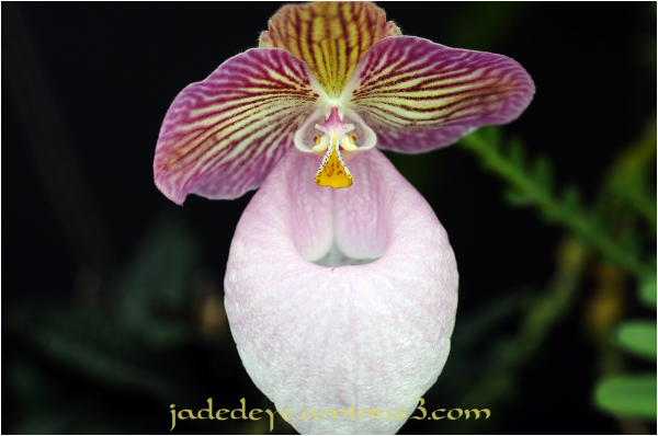 Orchids XXIV