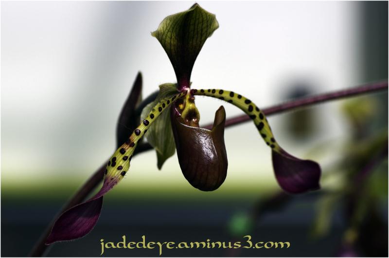 Orchids XXVI