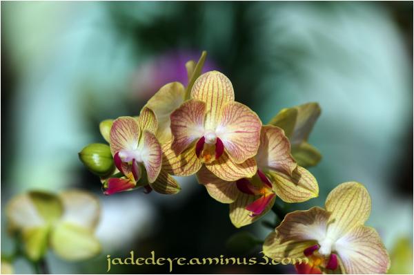 Orchids XXVII