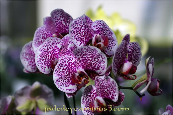 Orchids XXIX