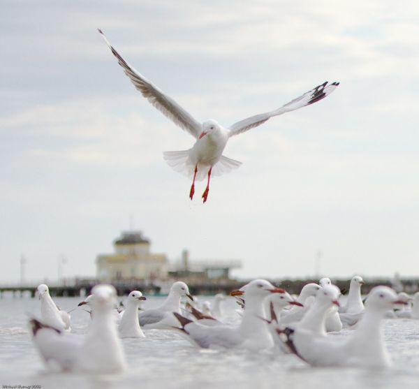 St Kilda seagull
