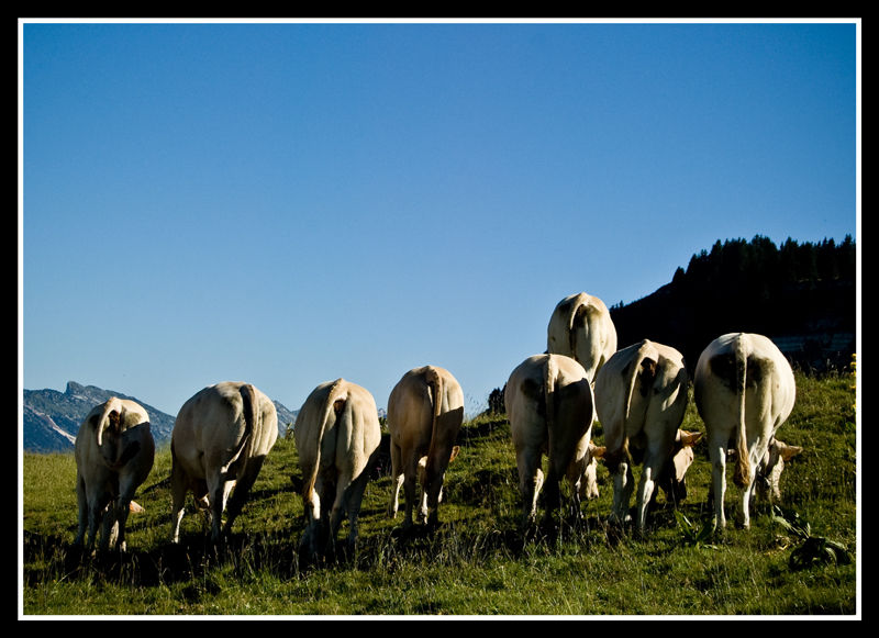 Cul de vaches