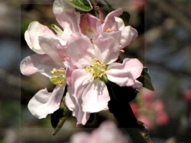 Aubépine en fleurs