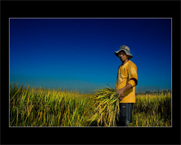 A farmer harvesting rice from Bulacan Phils