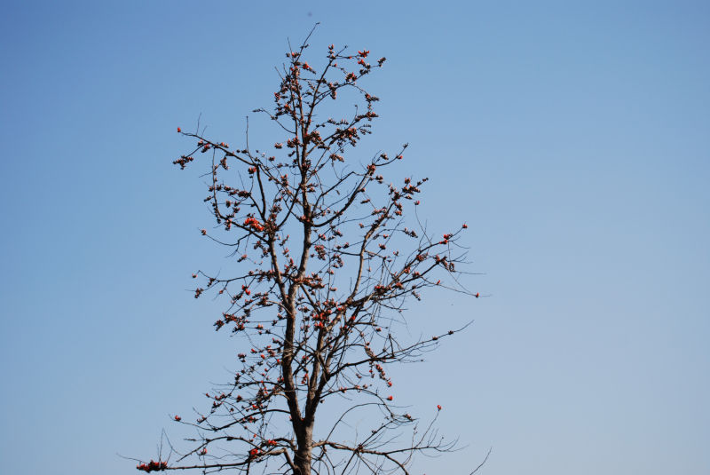 Leafless tree with Flowers