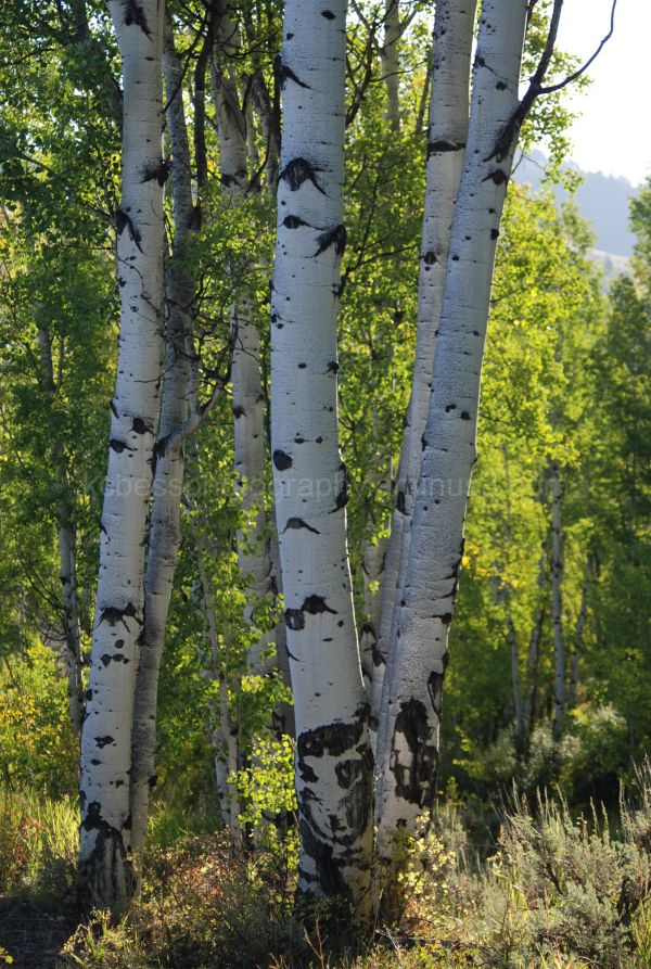 image of Aspen trees in summer