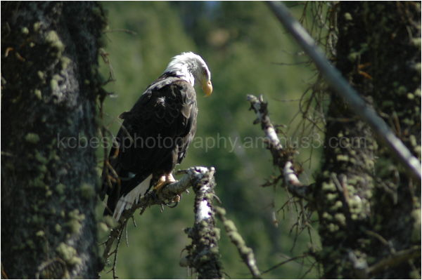 Shot of a Bald Eagle searching for Fish