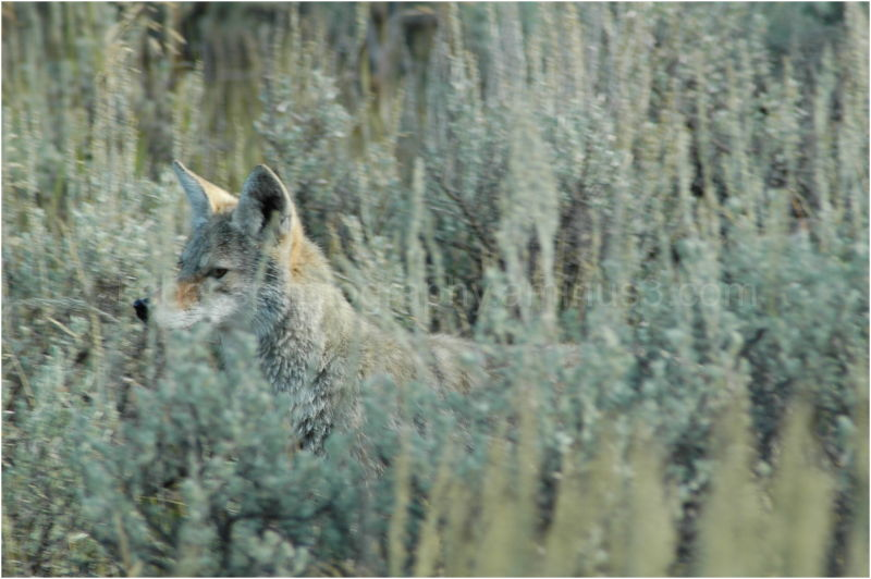 Coyote in Sage Brush