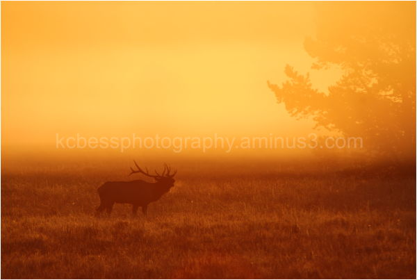 Elk Bugleing in the foggy sunrise