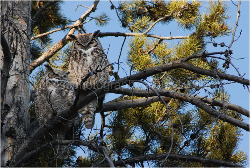 Great horned owl pair in tree