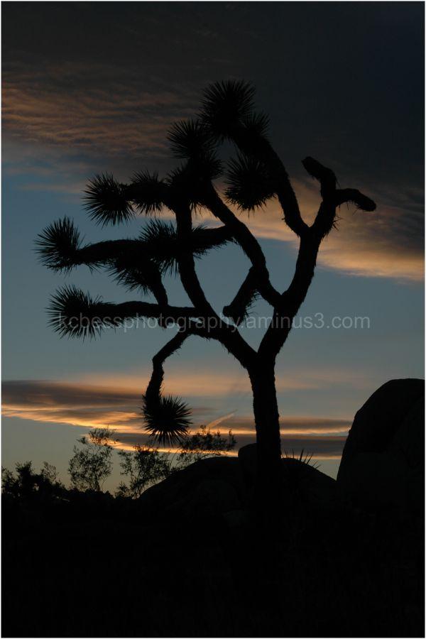 Silhouette of a joshua tree