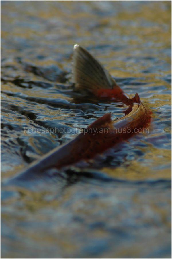 Kokinee Salmon