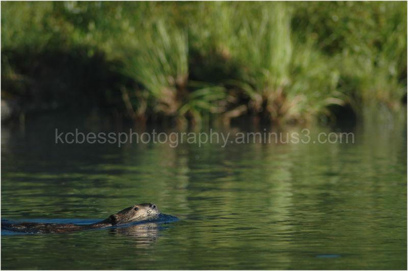 Beaver in water in morning