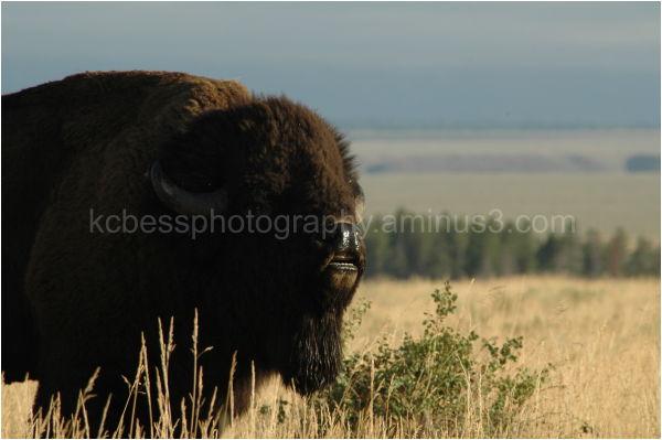 Bison during rut