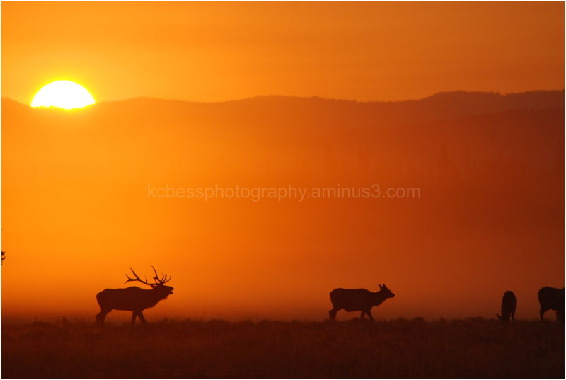 Elk silhouette in fog