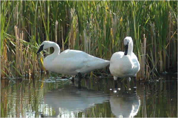 Swans in marsh
