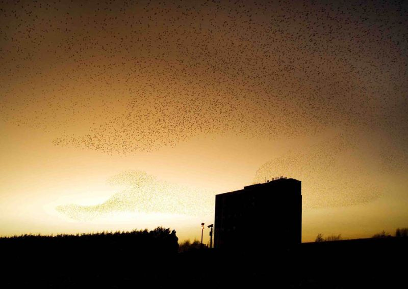 Starlings flock in a murmuration before roosting.