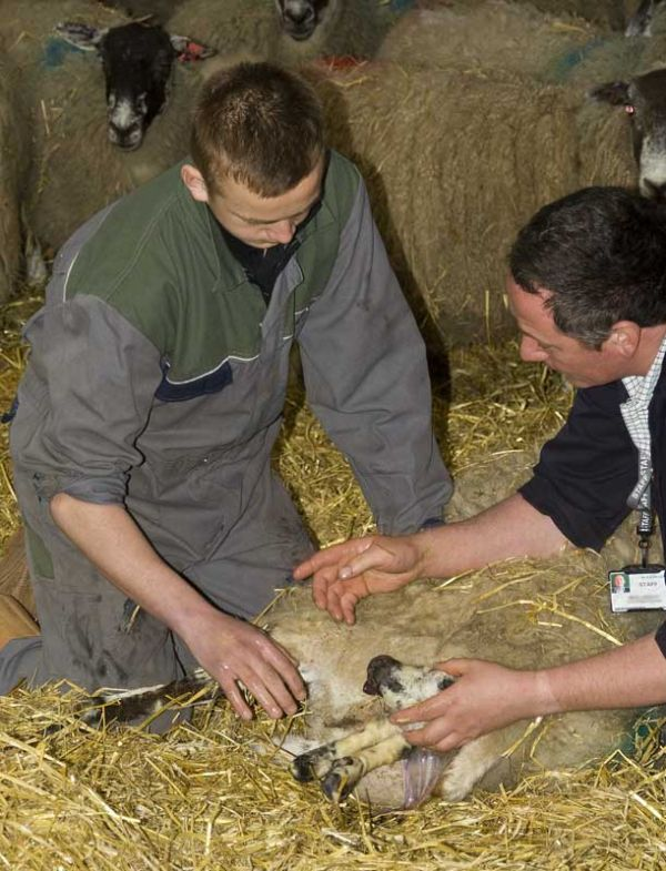 Student & teacher give a helping hand in lambing.
