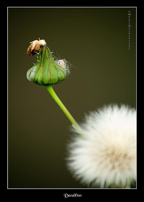 Flora dandilion