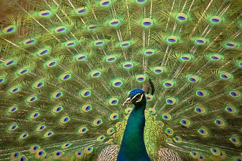 A peacock at Peckforton Castle