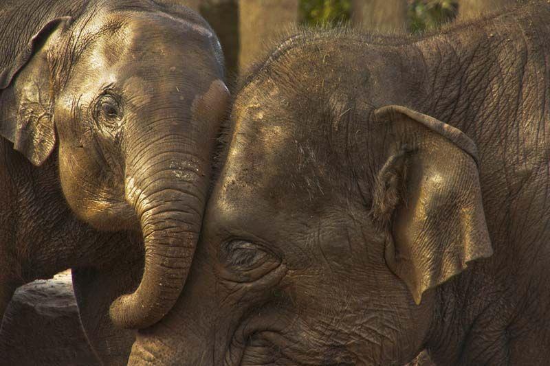 Young calf & matriarch elephants