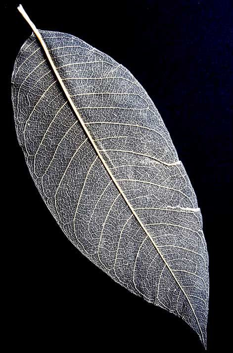 Skeletal leaf