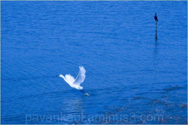 Crane and Cormorant in water