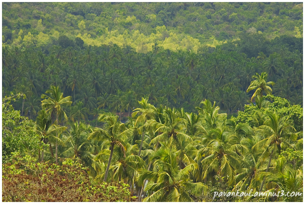 green palms in Goa